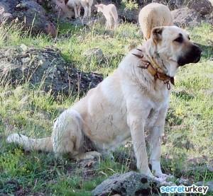 Kangal Çoban Köpeği