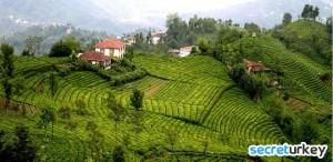 Rize Çay Bahçeleri