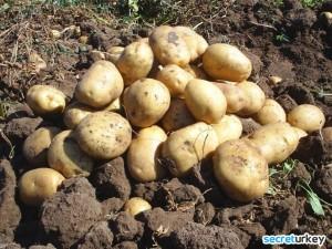 Sakarya Patates ve Soğan Üretimi