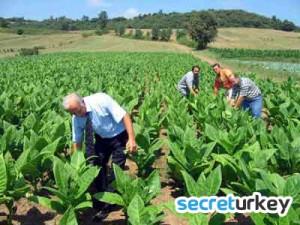 Samsun Tütün Üretimi